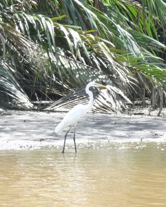 Great Egret, Brunei